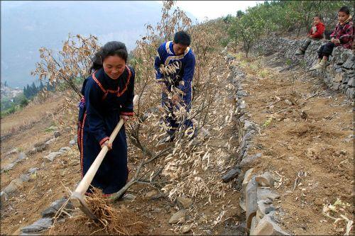 村民把因干旱枯死的甜橙树苗挖掉准备补种