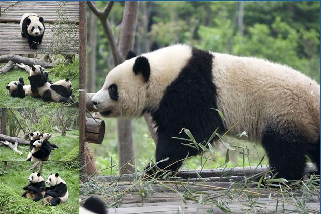 。 憨态可掬的大熊猫,千姿百态,惹人喜爱   贪睡可爱的小熊猫,慵懒的躺在树叉上。见此情景,孩子们兴奋不已,情不自禁的背起了《大熊猫》这篇课文;更有孩子带领大家唱起了《熊猫咪咪》的歌谣,想博得小熊猫的欢心。胖乎乎的大熊猫,憨态可掬,全神贯注的吃着竹叶,全然不顾游人的欣喜。大熊猫的一举一动,小朋友们看在眼里,记在心里。从课堂走入大自然,小朋友们真切的感受到了国宝的可爱和珍贵。