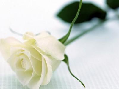 双语阅读:玫瑰花语 各色玫瑰各都代表什么含义