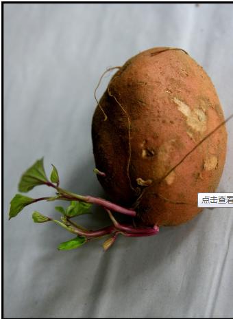 �t薯�l芽了�能不能吃?
