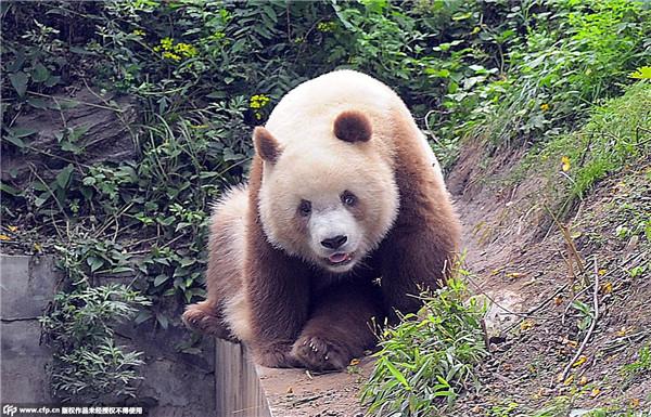 秦岭发现一罕见棕白色大熊猫