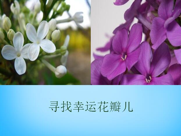 沪教版五年级上册语文课件《寻找幸运花瓣》