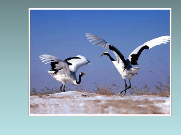鲁教版六年级下册语文课件《鹤群翔空》(2)
