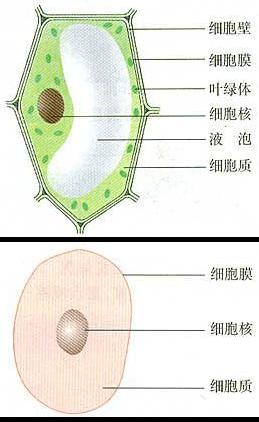 初中生物知识点梳理之观察植物细胞_生物体结构层次