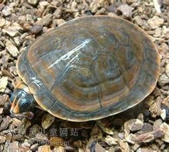 幼儿简笔画步骤图 小乌龟